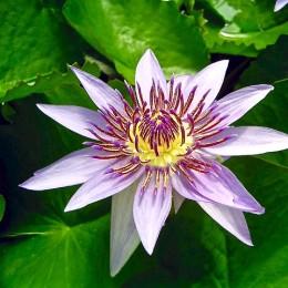 blue-egyptian-lotus-959683_640