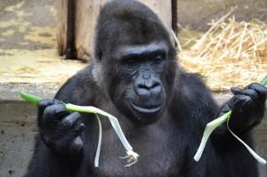 gorilla-1024297_640